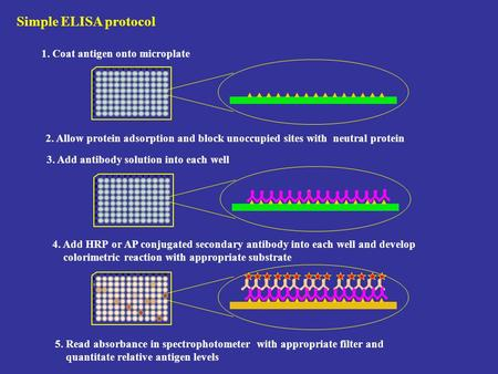 Simple ELISA protocol 1. Coat antigen onto microplate 2. Allow protein adsorption and block unoccupied sites with neutral protein 3. Add antibody solution.