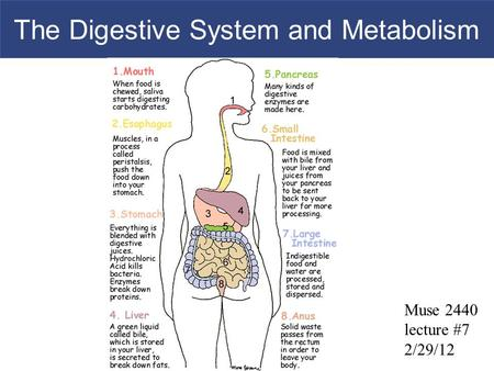 The Digestive System <strong>and</strong> Metabolism Muse 2440 lecture #7 2/29/12.