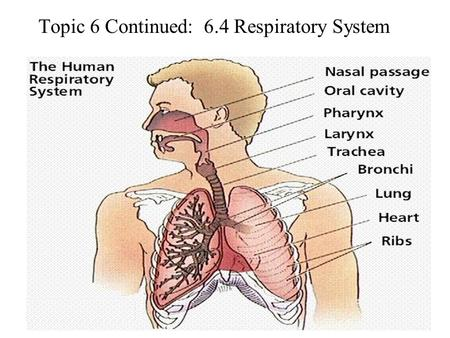 Topic 6 Continued: 6.4 Respiratory System. Distinguish between Ventilation, Gas Exchange and Cell Respiration Ventilation – pumping fresh air or water.