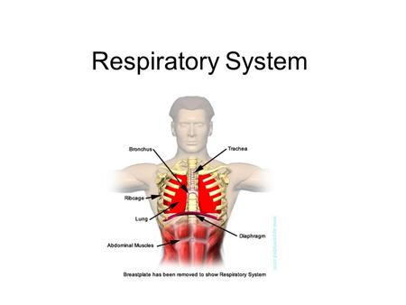 Respiratory System. 6.4 Gas exchange Distinguish between ventilation, gas exchange and cell respiration. Explain the need for a ventilation system. Describe.
