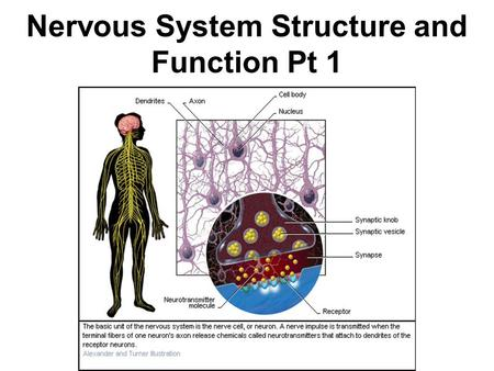 Nervous System Structure and Function Pt 1. Nervous System Function The nervous system controls and coordinates functions throughout the body, and responds.