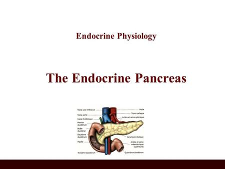 Endocrine Physiology The Endocrine Pancreas. A triangular gland, which has both exocrine and endocrine cells, located behind the stomach Strategic location.