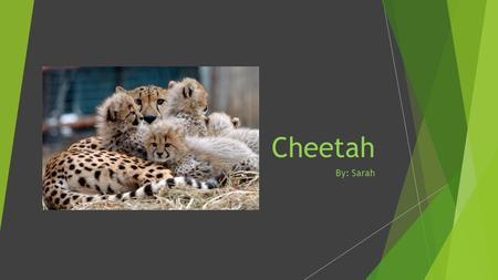 Cheetah By: Sarah. How Do They Look? Cheetahs look golden and have black spots with white stripes on their tails.