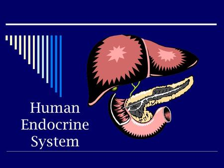 Human Endocrine System.  The endocrine system consists of ductless glands that produce hormones Hypothalamus, pituitary, pineal, thyroid, parathyroid,