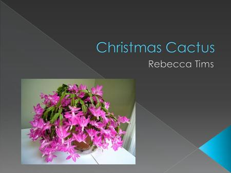  The Christmas Cactus received its name because it would bloom during the Christmas season.  The common Christmas Cactus houseplant is a hybrid of Schlumbergera.