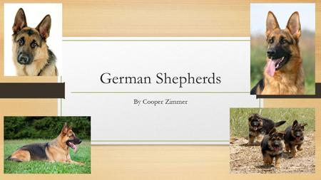 German Shepherds By Cooper Zimmer Appearance They have long bodies, pointed ears, and long, bushy tails. Most adults weigh 75 to 85 pounds, and measure.
