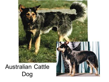 Australian Cattle Dog. Australian Shepherd Belgian Sheepdog.