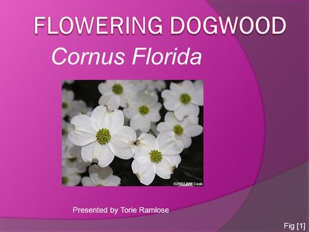 Cornus Florida Presented by Torie Ramlose Fig [1].