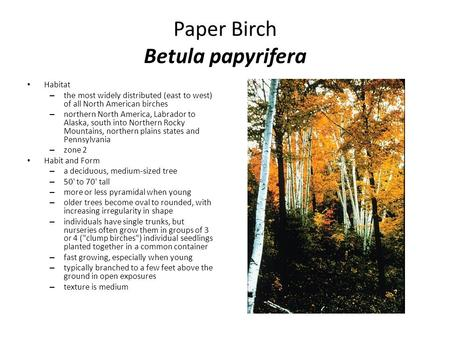 Paper Birch Betula papyrifera Habitat – the most widely distributed (east to west) of all North American birches – northern North America, Labrador to.