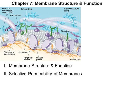 Chapter 7: Membrane Structure & Function