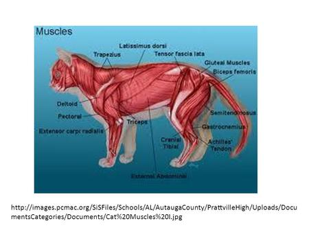 mentsCategories/Documents/Cat%20Muscles%20I.jpg.