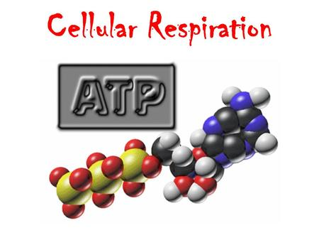 Cellular Respiration Adenosine Triphosphate Universal energy carrier of the cell –Active transport –Reproduction –Movement –Muscle contractions –Protein.