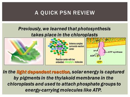 light dependent reaction In the light dependent reaction, solar energy is captured by pigments in the thylakoid membrane in the chloroplasts and used.