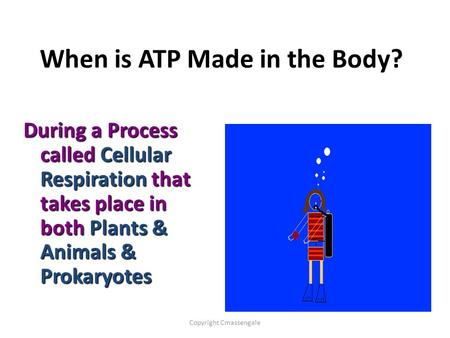 When is ATP Made in the Body? During a Process called Cellular Respiration that takes place in both Plants & Animals & Prokaryotes Copyright Cmassengale.
