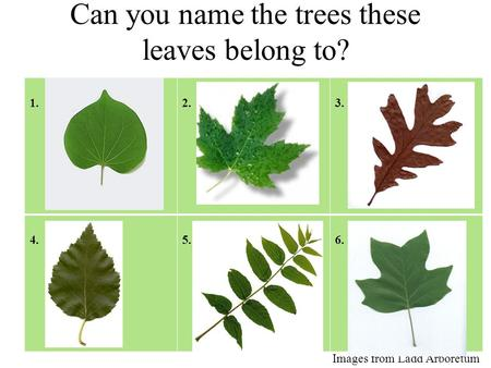 Can you name the trees these leaves belong to? 1.Redbud2.Maple3. White Oak 4. Silver Birch5. Black Walnut6. Tulip Poplar Images from Ladd Arboretum.