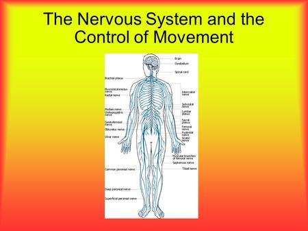 The Nervous System and the Control of Movement. The Nervous System The nervous system is the body's way of gathering information, storing it, and responding.