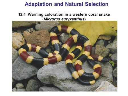 12.4 Warning coloration in a western coral snake (Micrurus euryxanthus) Adaptation and Natural Selection.
