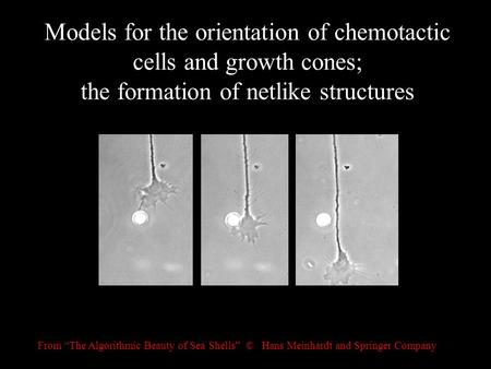 "Models for the orientation of chemotactic cells and growth cones; the formation of netlike structures From ""The Algorithmic Beauty of Sea Shells"" © Hans."