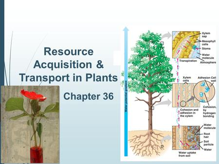 2006- 2007 Resource Acquisition & Transport in Plants Chapter 36.