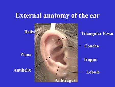 External anatomy of the ear Pinna Helix Antihelix Tragus Antitragus Triangular Fossa Concha Lobule.