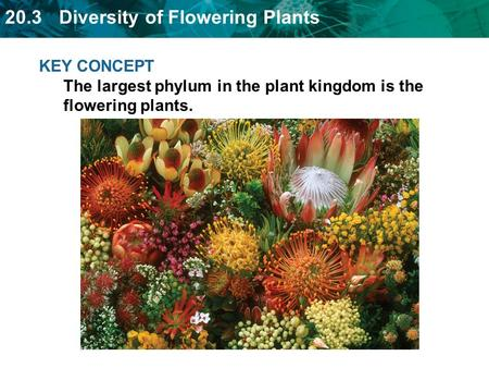 20.3 Diversity of Flowering Plants KEY CONCEPT The largest phylum in the plant kingdom is the flowering plants.