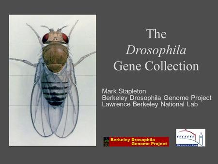 The Drosophila Gene Collection Mark Stapleton Berkeley Drosophila Genome Project Lawrence Berkeley National Lab.