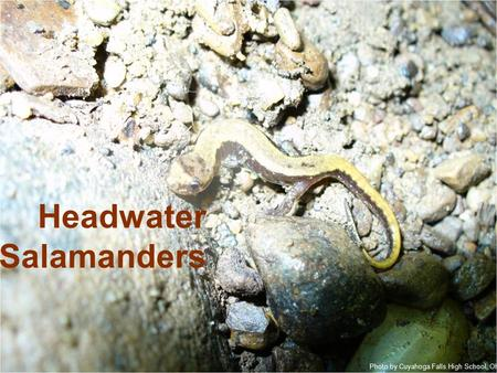 Headwater Salamanders Photo by Cuyahoga Falls High School, Ohio.