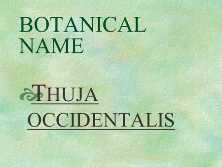 BOTANICAL NAME  T HUJA OCCIDENTALIS COMMON NAME  American Arbovitae.