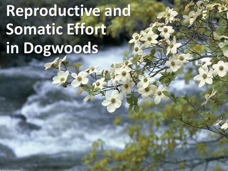 Reproductive and Somatic Effort in Dogwoods. An organism's typical pattern of : – Growth & Survival – Reproduction GrassesTrees fast growth quick repro.