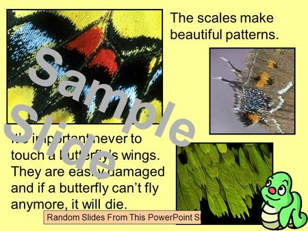 The scales make beautiful patterns. It's important never to touch a butterfly's wings. They are easily damaged and if a butterfly can't fly anymore, it.