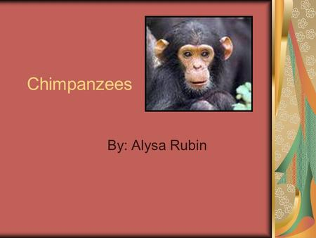 Chimpanzees By: Alysa Rubin What does a Chimp look like? Chimps are brown, black or gray. They are very big, but They don't have a tail like other monkeys.
