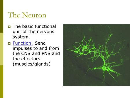 The Neuron  The basic functional unit of the nervous system.  Function: Send impulses to and from the CNS and PNS and the effectors (muscles/glands)