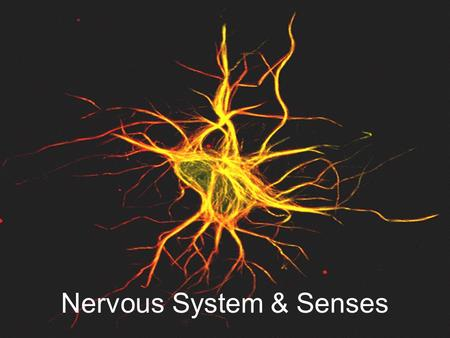 Nervous System & Senses. Neuron A neuron is the basic unit of the Nervous System. Carry messages in the form of electrical impulses.