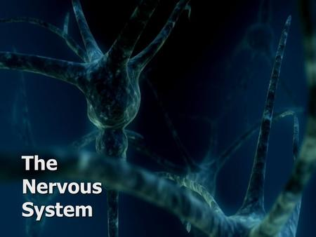 The Nervous System. Key Concepts Muscle Motor Neuro n Interneuron Skin receptors Sensory Neuron Brain Know the function and divisions of the nervous system.