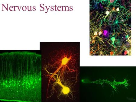 Nervous Systems. IB Assessment Statement State that the nervous system consists of the central nervous system (CNS) and peripheral nerves, and is composed.