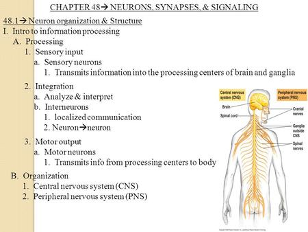CHAPTER 48  NEURONS, SYNAPSES, & SIGNALING 48.1  Neuron organization & Structure I. Intro to information processing A. Processing 1. Sensory input a.