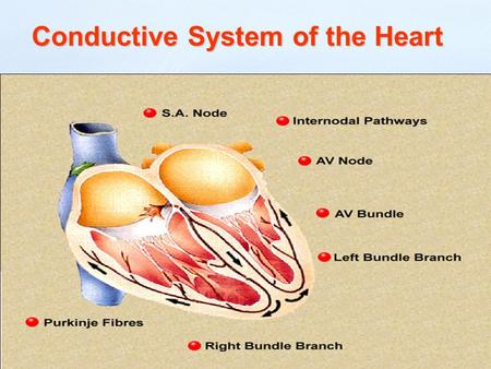 Conductive System of the Heart. Conduction system The specialized heart cells of the cardiac conduction system generate and coordinate the transmission.