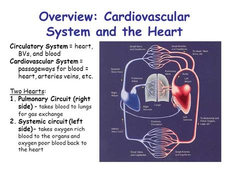 Overview: Cardiovascular System and the Heart Circulatory System = heart, BVs, and blood Cardiovascular System = passageways for blood = heart, arteries.