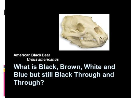 What is Black, Brown, White and Blue but still Black Through and Through? American Black Bear Ursus americanus.