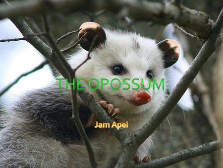 1. All About The Opossum 2. Opossum vs. Possum! 3. Effects of High Oxygen 4. Loactions 5. The Life of an Opossum 6. Summary 7. Glossary 8. Bibliography.