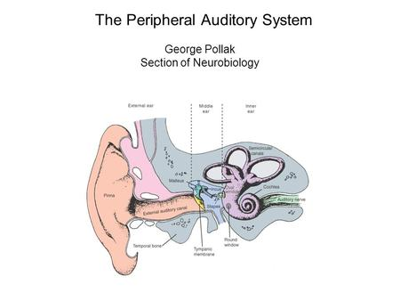 The Peripheral Auditory System George Pollak Section of Neurobiology.