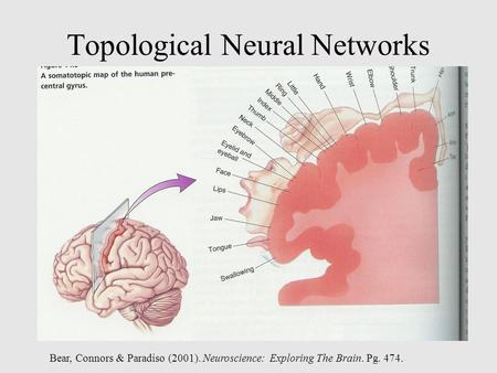 Topological Neural Networks Bear, Connors & Paradiso (2001). Neuroscience: Exploring The Brain. Pg. 474.