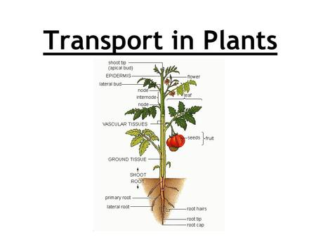 Transport in Plants. Title: Transport in Plants Lesson objective: 1.Can I explain the role of vascular tissue? Grade C/B 2.Can I describe the distribution.