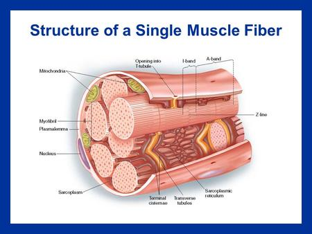 Structure of a Single Muscle Fiber. Skeletal Muscle Fiber Structure Key Points An individual muscle cell is called a muscle fiber A muscle fiber is enclosed.