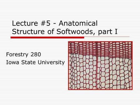Lecture #5 - Anatomical Structure of Softwoods, part I Forestry 280 Iowa State University.