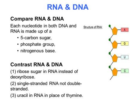 RNA & DNA Compare RNA & DNA Contrast RNA & DNA