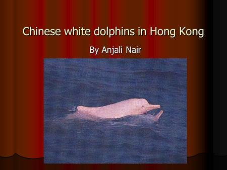 Chinese white dolphins in Hong Kong By Anjali Nair.