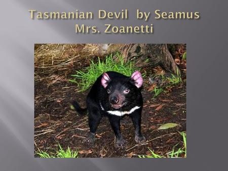  The Tasmanian devil has 4 strong teeth 2 on the top and 2 on the bottom  It has 1 of the strongest bites.  It's the size of a small dog.  Black.