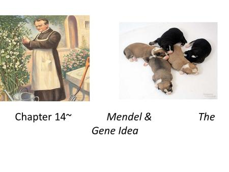 Chapter 14~Mendel & The Gene Idea Gregor Mendel Modern genetics began in the mid- 1800s in an abbey garden, where a monk named Gregor Mendel documented.
