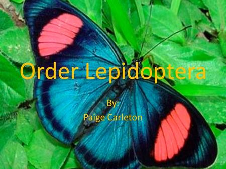 "Order Lepidoptera By: Paige Carleton. Meaning behind Lepidoptera Comes from Greek language: – Lepido meaning ""scale"" – Ptera meaning ""wing"" This makes."